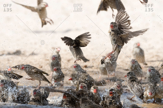 A Red-billed quelea flock (Quelea quelea), in flight, Kalahari, Botswana  Africa
