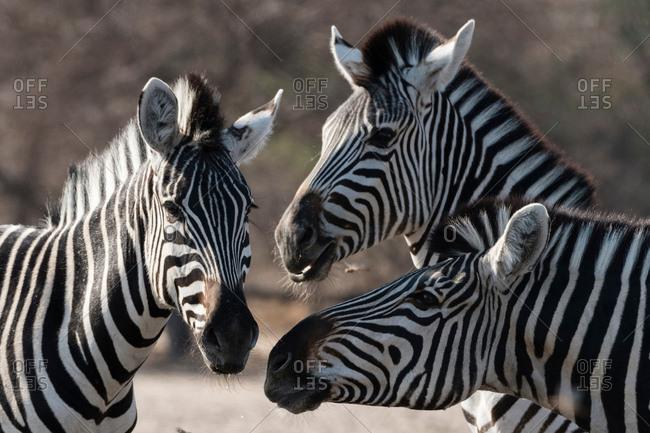 Three Burchell's zebra (Equus burchellii), Kalahari, Botswana, Africa