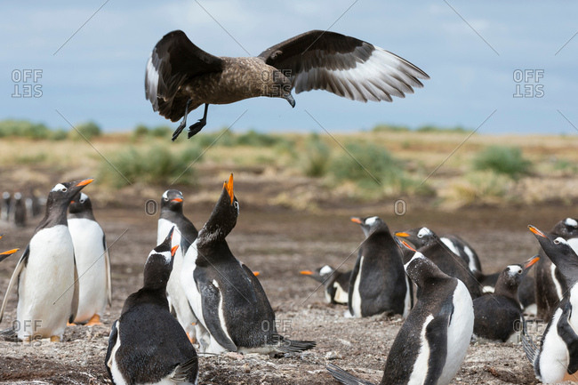 A southern skua (Catharacta antarctica), attacking a Gentoo penguin colony (Pygoscelis papua), Port Stanley, Falkland Islands, South America