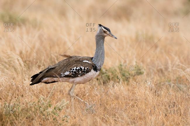 Kori bustard (Ardeotis kori), Samburu National Reserve, Kenya, Africa