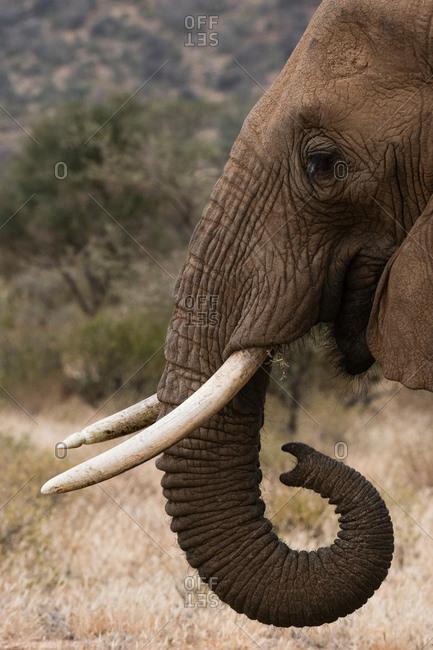 African elephant (Loxodonta Africana), Kalama Wildlife Conservancy, Samburu, Kenya, Africa