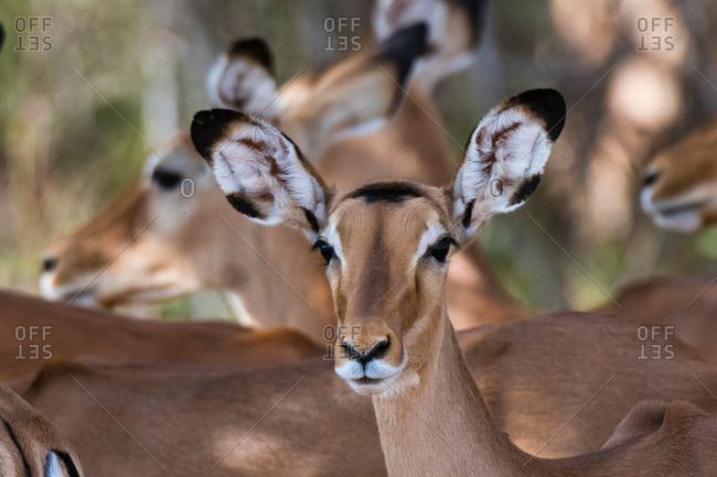 Impala (Aepyceros melampus), Samburu, Kenya, Africa