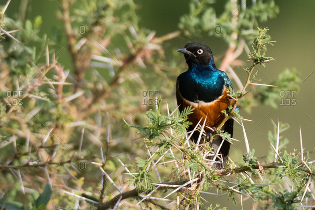 Superb starling (Lamprotornis superbus), Samburu National Reserve, Kenya, Africa