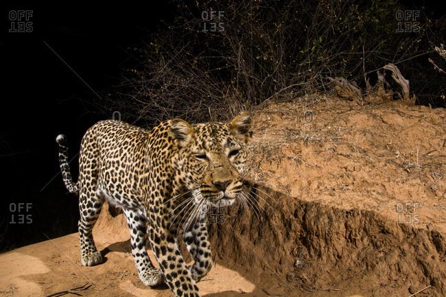 A remote camera trap captures a leopard (Panthera pardus),  Kalama Conservancy, Samburu, Kenya, Africa
