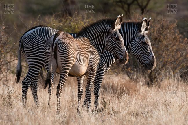 Grevy's zebra (Equus grevyi), Kalama Conservancy, Samburu, Kenya, Kenya, Africa