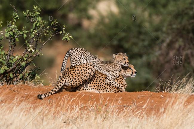 A Cheetah cub (Acinonyx jubatus), playing with its mother, Samburu National Reserve, Kenya, Africa
