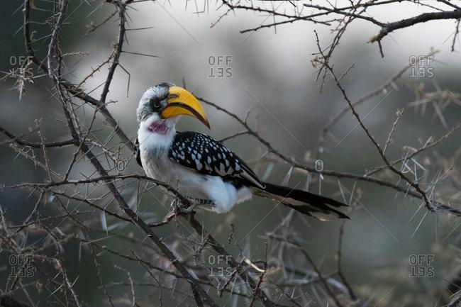 Eastern Yellow-billed Hornbill (Tockus flavirostris), Samburu National Reserve, Kenya, Africa