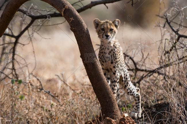 Portrait of a�Cheetah cub (Acinonyx jubatus), Samburu National Reserve, Kenya, Africa