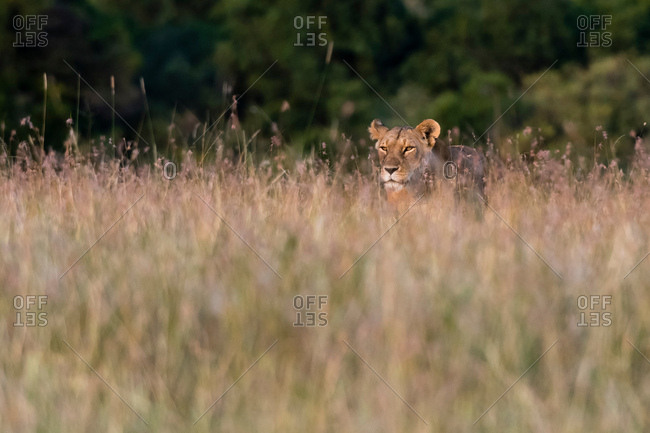 A lioness (Panthera leo),�searching for her cubs in the tall grass, Masai Mara, Kenya, Africa