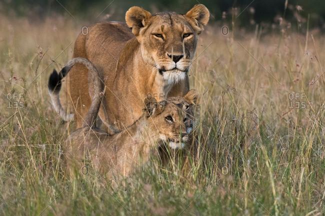 Lioness and cubs (Panthera leo),�Masai Mara, Kenya, Africa