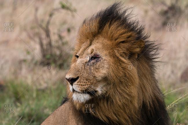 Lion (Panthera leo), Masai Mara, Kenya, Africa