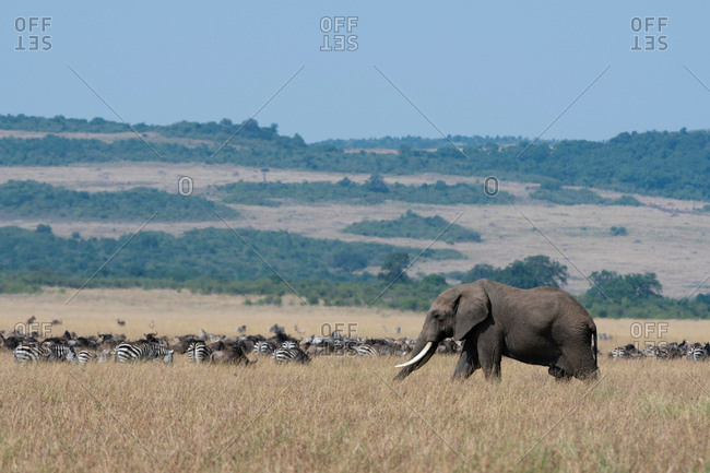 Elephant (Loxodonta africana), Masai Mara National Reserve, Kenya, Africa