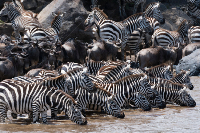 Grant's zebras (Equus quagga boehmi) and Eastern white-bearded wildebeest (Connochaetes taurinus), drinking at the Mara river, Masai Mara National Reserve, Kenya, Africa