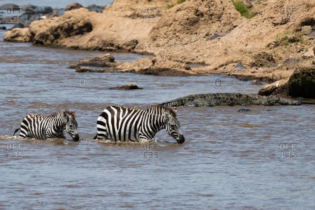 Grant's zebras (Equus quagga boehmi), crossing the Mara river, Masai Mara National Reserve, Kenya, Africa