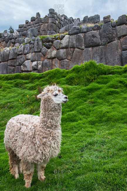 Alpaca at the old Inca site of Sacsayhuaman above Cusco, Cusco, Peru, South America