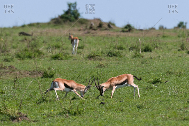 Thompson Gazelle sparring (Gazella thompsoni), Masai Mara National Reserve, Kenya