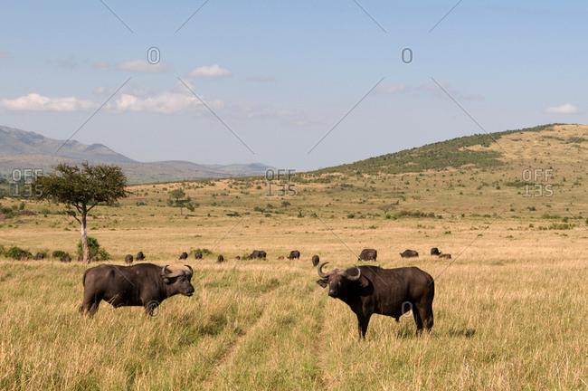 Cape Buffalos (Syncerus caffer), Masai Mara National Reserve, Kenya