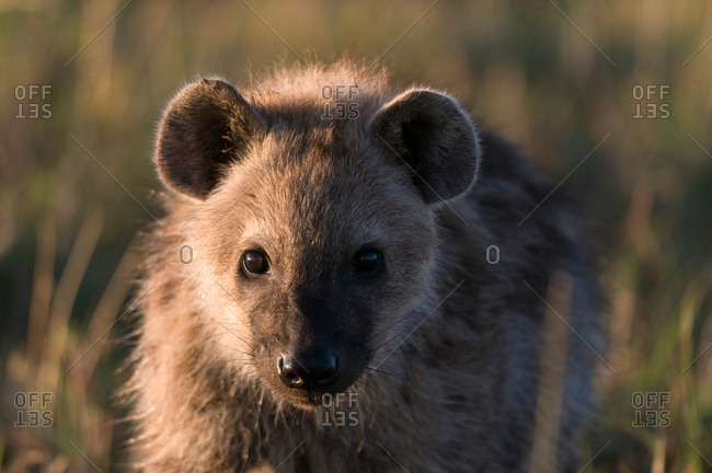 Spotted Hyaena cub (Crocuta crocuta), Masai Mara National Reserve, Kenya