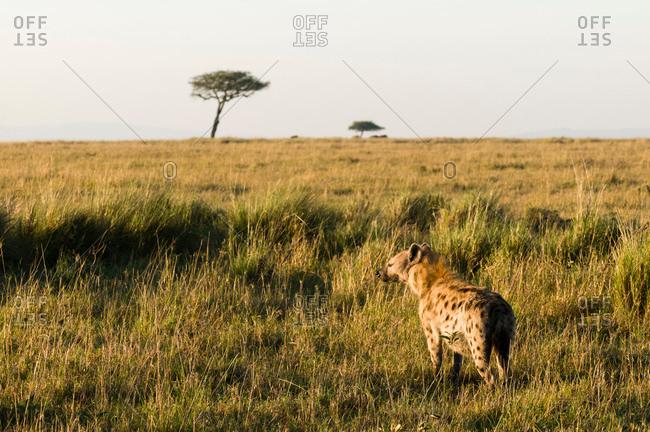 Spotted Hyaena (Crocuta crocuta), Masai Mara National Reserve, Kenya