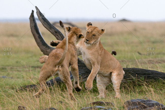 Lionesses playing (Panthera leo), Masai Mara National Reserve, Kenya