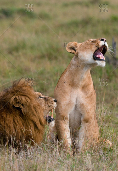 Lion and lioness (Panthera leo), Masai Mara National Reserve, Kenya