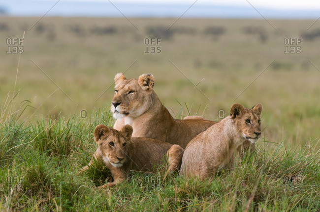 Lioness and cubs (Panthera leo), Masai Mara National Reserve, Kenya