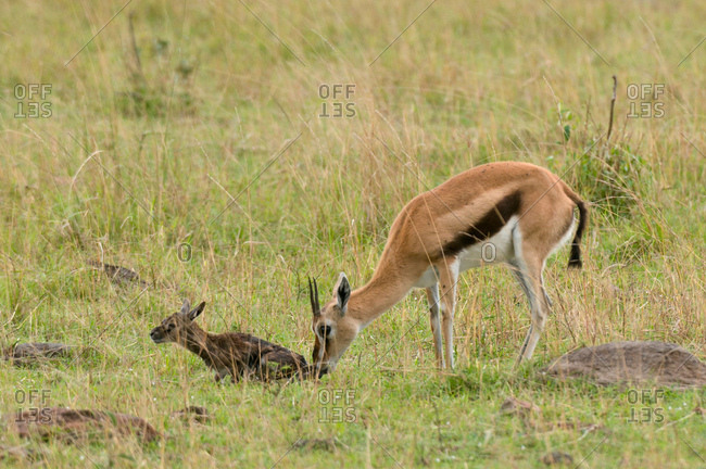 Thomson Gazelle with newborn (Gazella thomsoni), Masai Mara National Reserve, Kenya