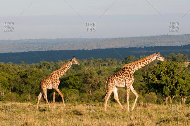 Masai Giraffe (Giraffa camelopardalis), Masai Mara National Reserve, Kenya
