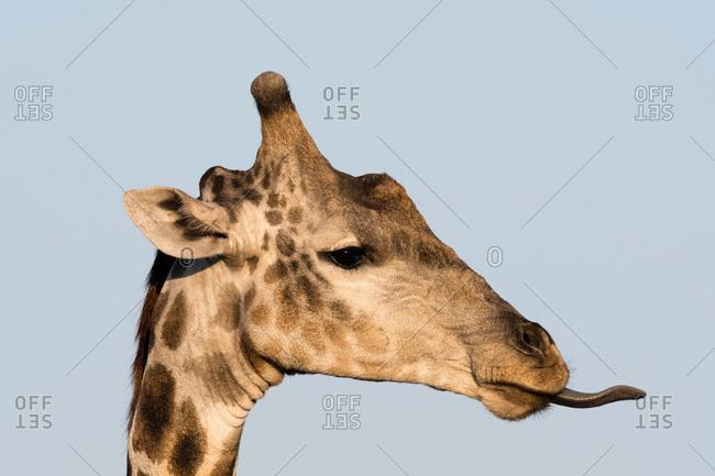 Portrait of a Southern Giraffe (Giraffa camelopardalis), Okavango Delta, Botswana, Africa