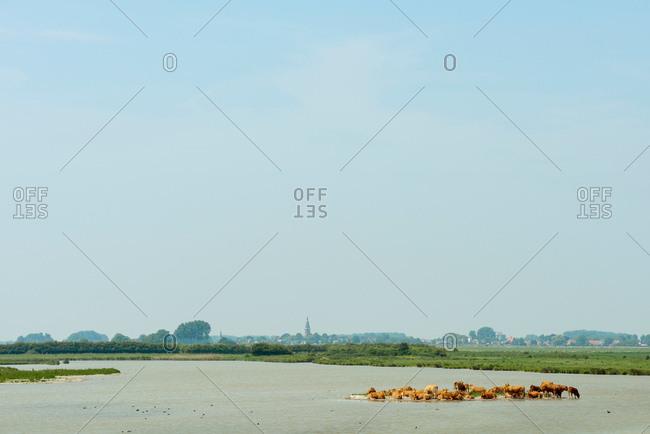 Herd of cows rest on a small sandbank in a nature reserve, Kruisdijk, Zeeland, Netherlands, Europe