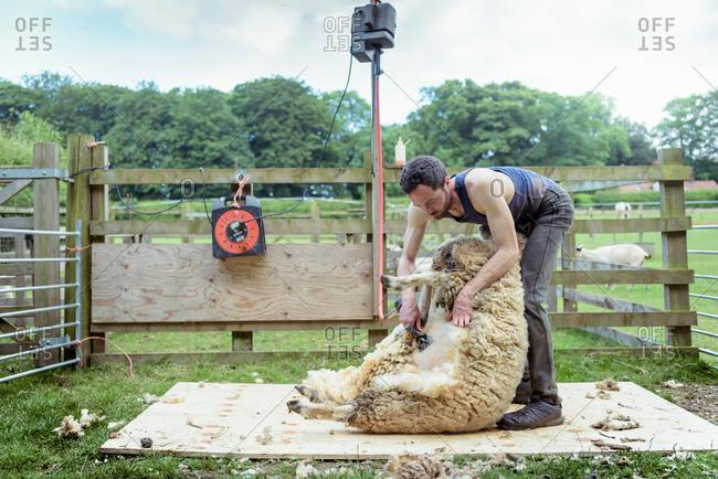 Sheep shearer shearing sheep in pen in field