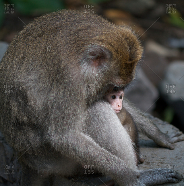 Macaque calming its baby