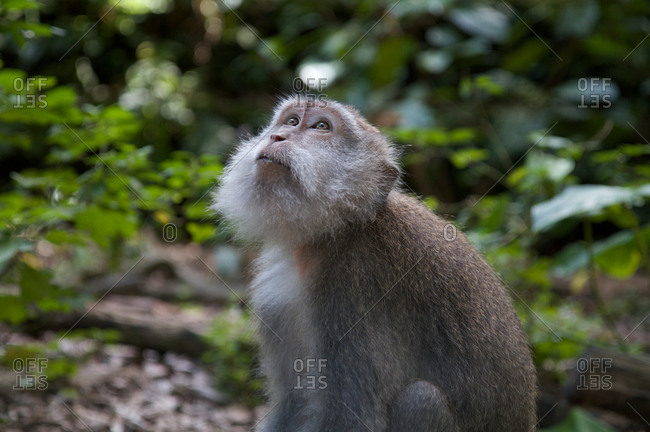 Macaque looking upwards in Monkey Forest