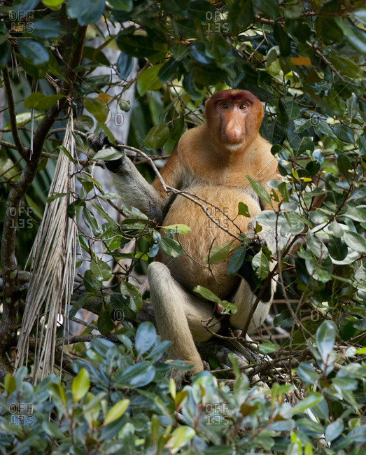 Proboscis monkey in tree
