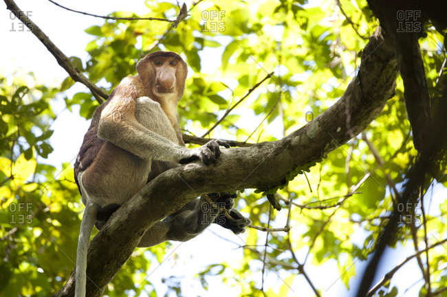 Adult male proboscis monkey
