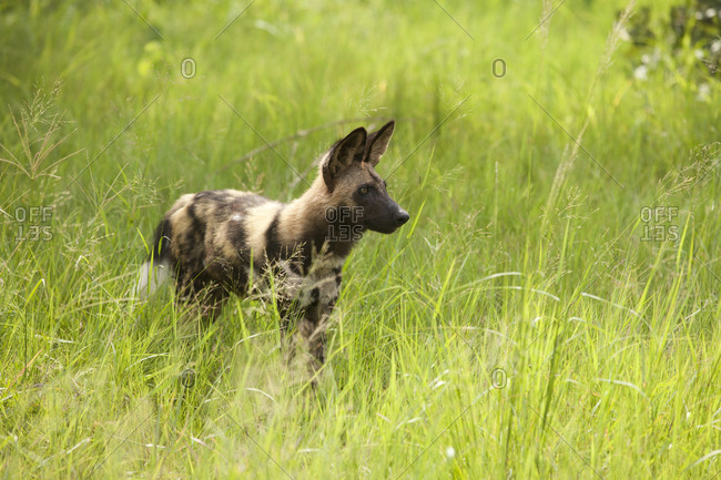 African wild dog in tall grass