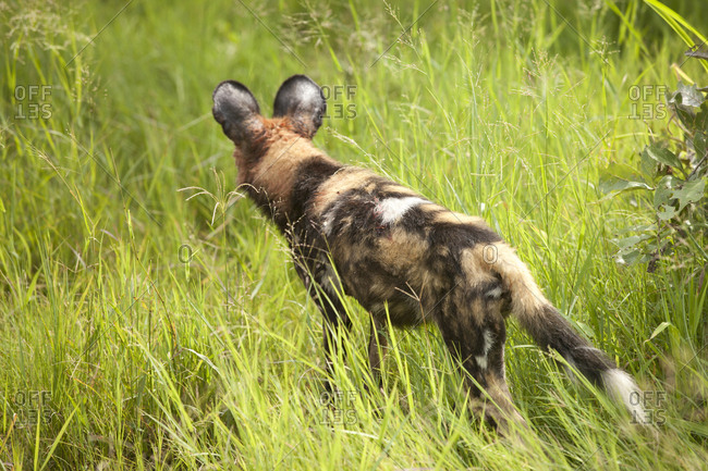 African wild dog on hunt