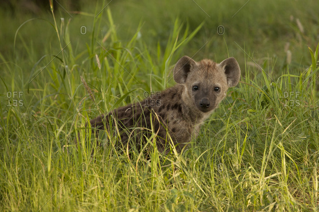 Young hyena in grass