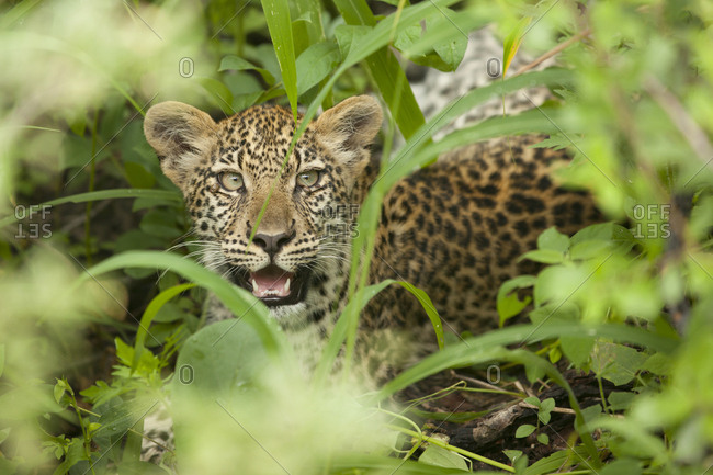 Leopard smiling