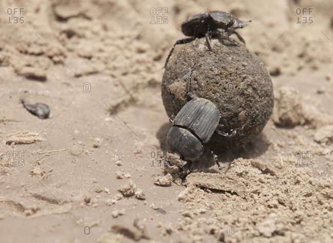 Dung beetles rolling on dung