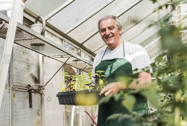 Smiling senior man in greenhouse holding tray with seedlings