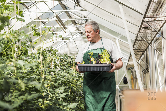 Senior man in greenhouse holding tray with seedlings