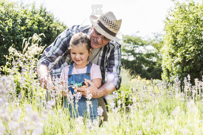 Grandfather and granddaughter in lavender field