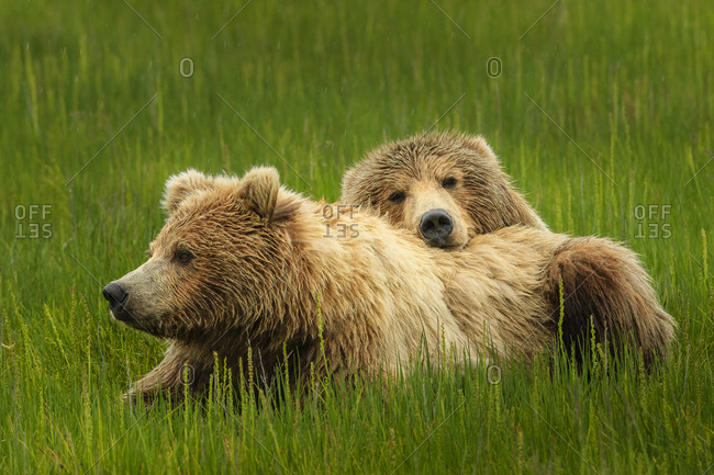 Coastal brown bears, Ursus arctos, rest in the sedge meadow at Sliver Salmon Creek in Lake Clark National Park, Alaska