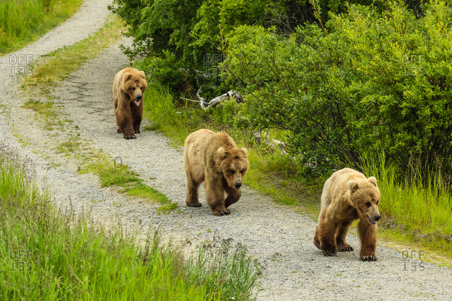 Brown bears, Ursus arctos, walking the  road at Brooks Camp