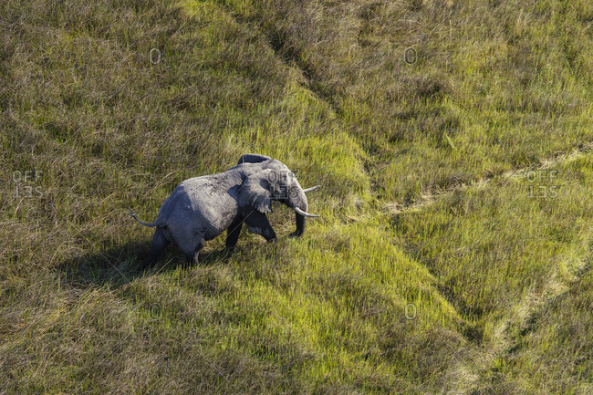 Aerial view of an elephant, Loxodonta Africana, walking in the open plains