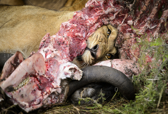 Young lion eating a carcass of a dead wildebeest