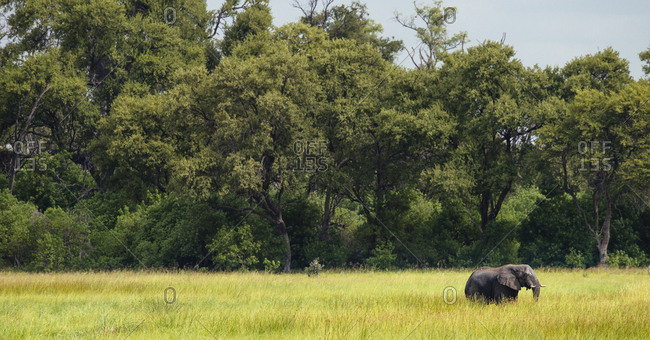An elephant walks across the verdant Okavango Delta