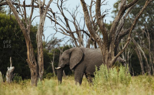 African elephant, Loxodonda africana, walking in the forest