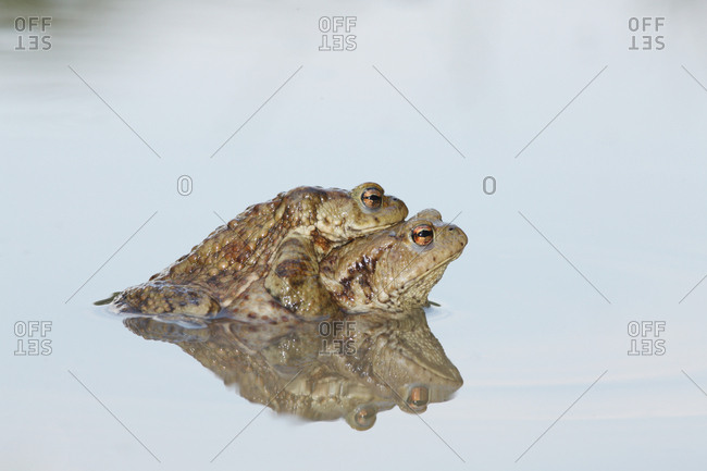 Common toads, Bufo bufo, in mating position called amplexus